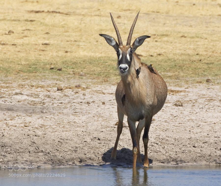 Taken at Ngweshla waterhole, Hwange NP, Zimbabwe, 5th September 2011