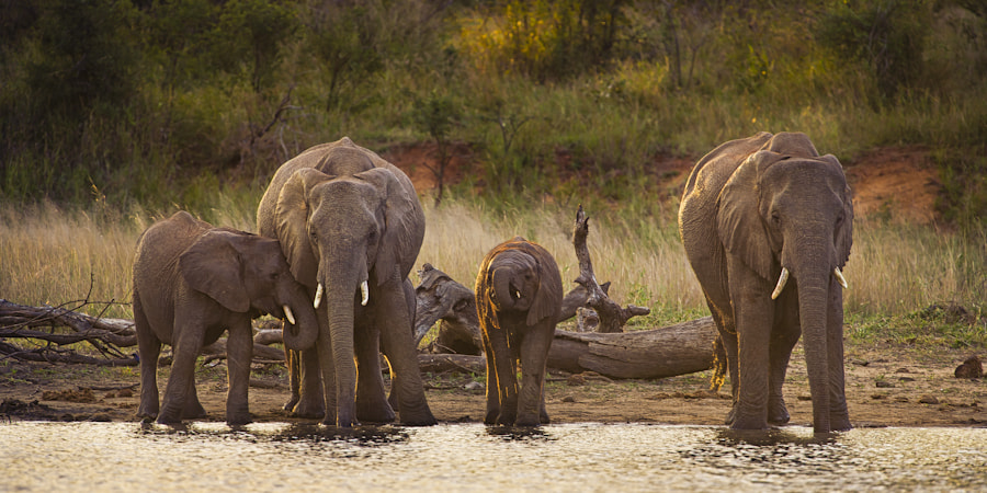 Photograph Elephants at The Dam by Mario Moreno on 500px