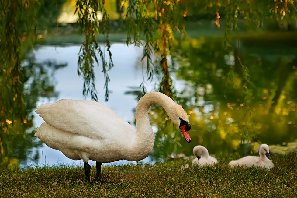 Photograph The Swan Family by Rudi Zhang on 500px