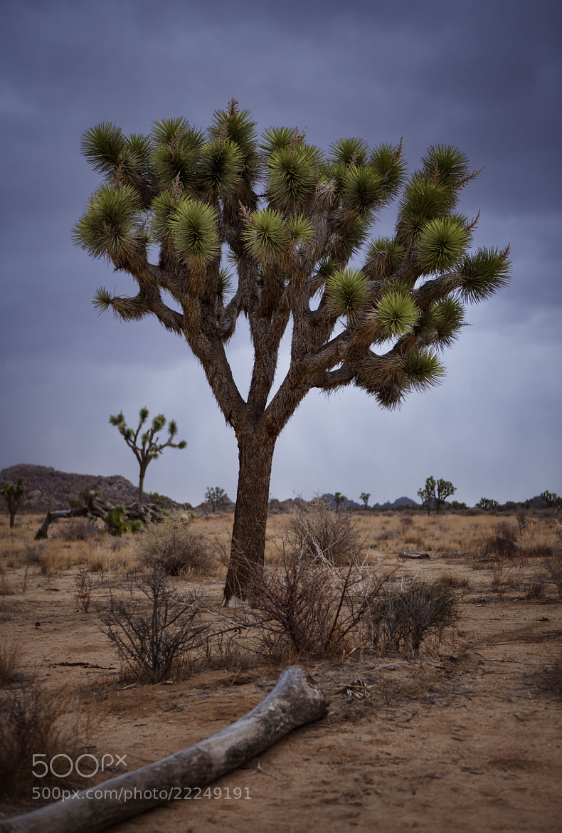 Photograph Joshua Tree II by Todd Livermore on 500px