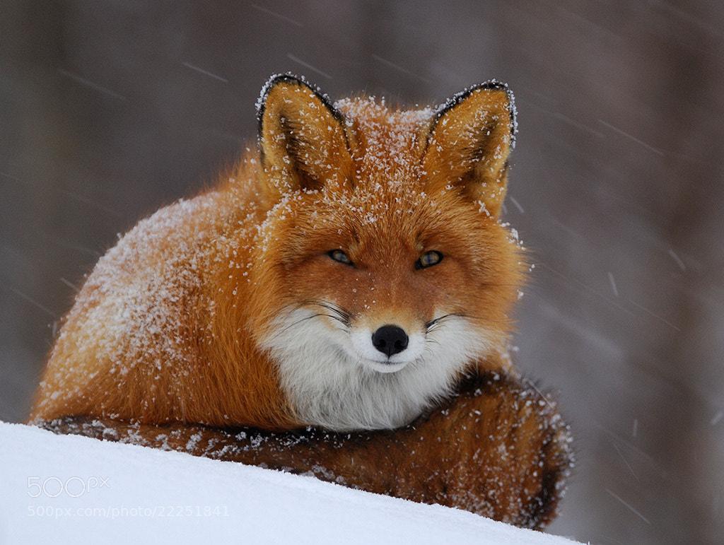 Photograph Snowy fox. by Igor Shpilenok on 500px