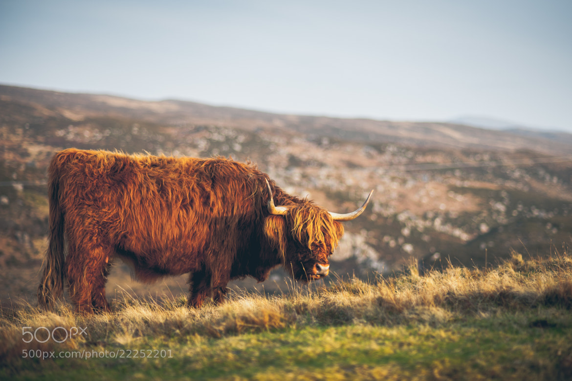 Photograph Highland Cattle by Luke Bhothipiti on 500px