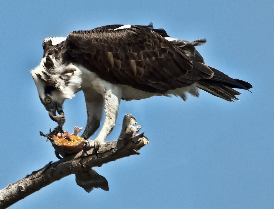 Photograph Big lunch for Osprey by Peter Dang on 500px