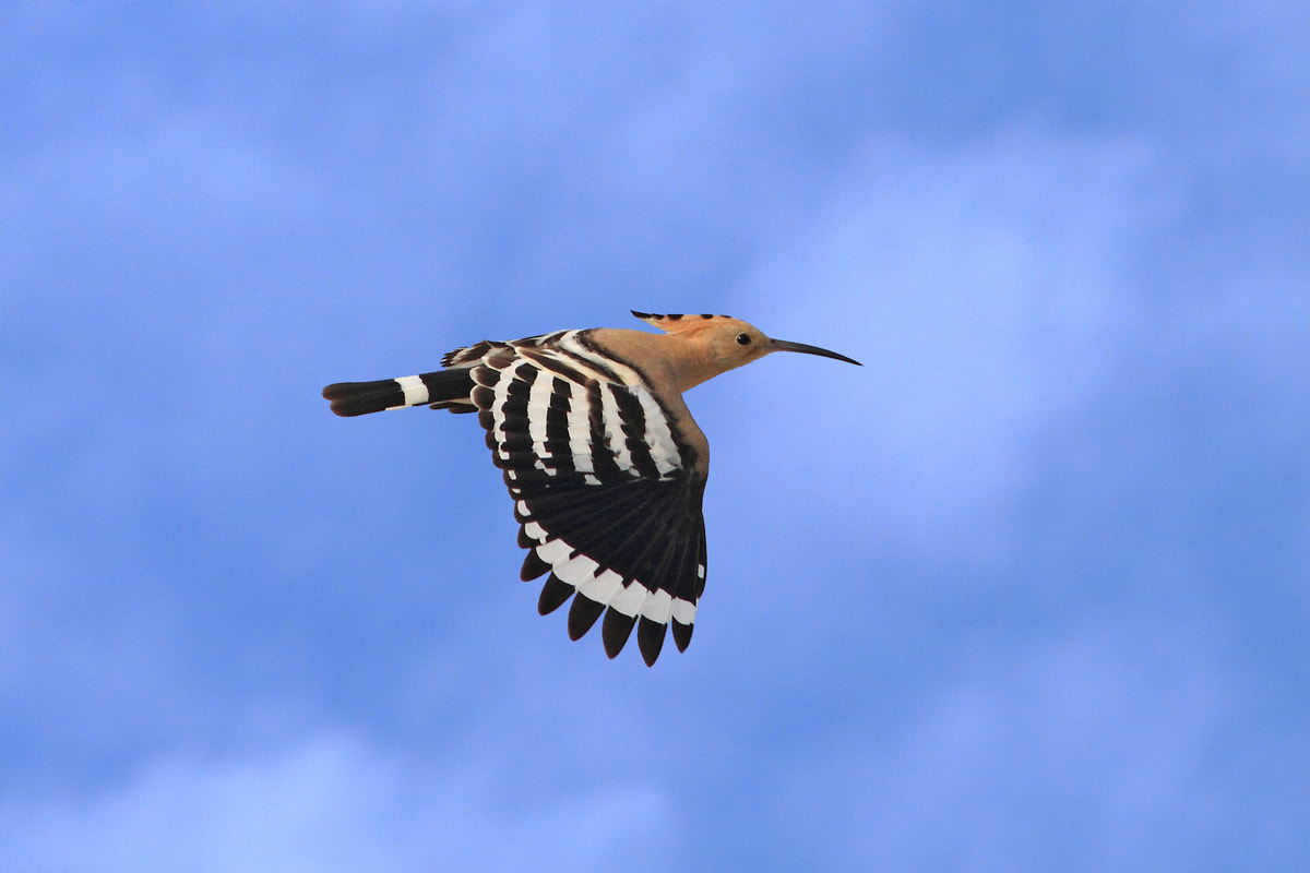 Photograph Hoopoe in the air by Yuri Gomelsky on 500px