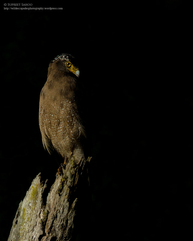 Photograph Crested Serpent Eagle by Supreet Sahoo on 500px