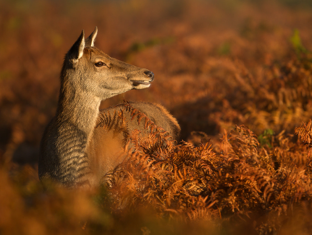 Photograph Red Deer Hind In Morning Light by Giedrius Stakauskas on 500px