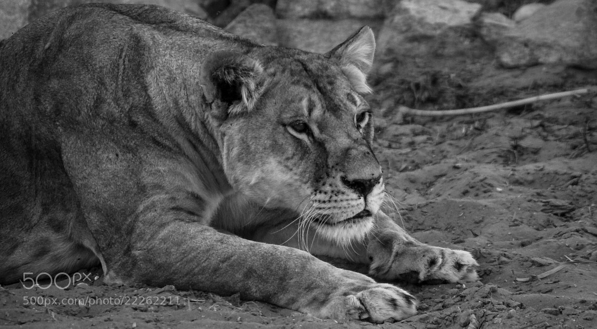 Photograph The Lioness by julian john on 500px