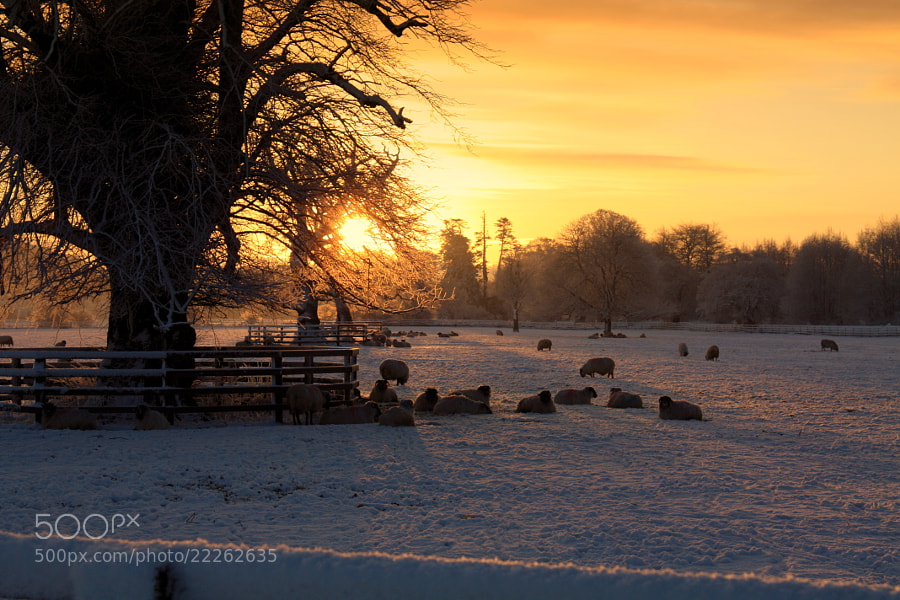 Sheep in the snow at sunrise.