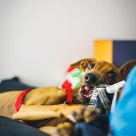 #galgoitaliano #perro #cachorro #italiangreyhound #dog #puppy #animal #canon #eos5d