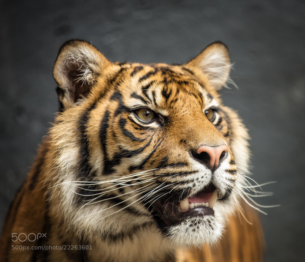 Photograph Tiger by Peter Craig on 500px