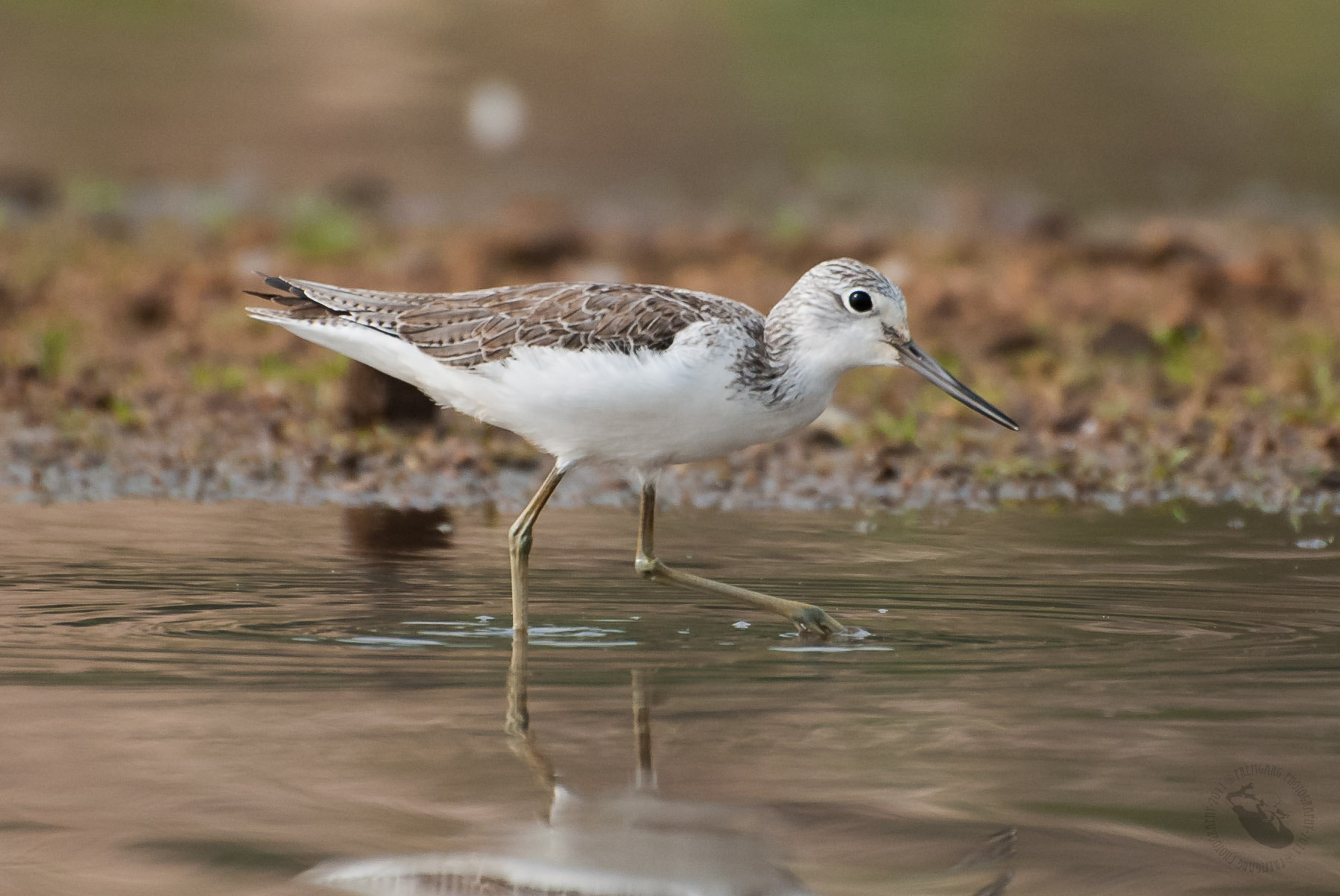 Photograph Common Greenshank by Prem Garg on 500px