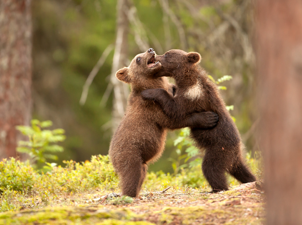 Photograph Bear Cubs Playing Fight by Giedrius Stakauskas on 500px