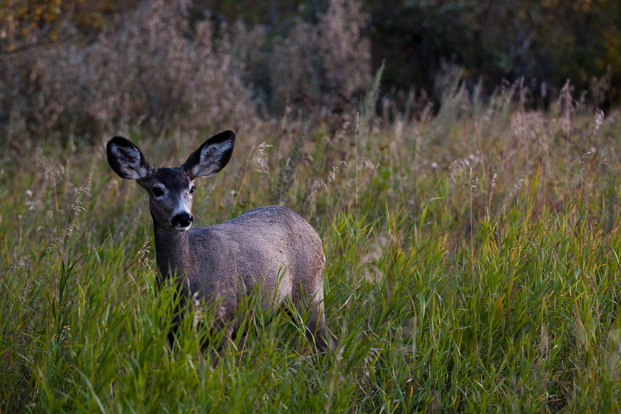 Photograph Deer from Inglewood Bird Scanctuary by Jeff Rhude on 500px