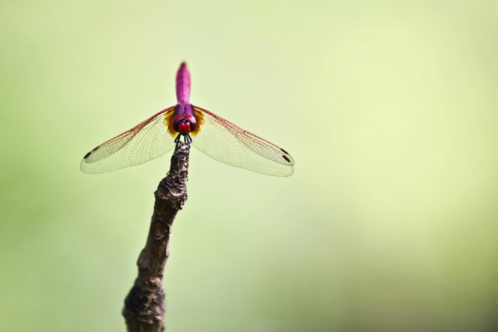 Photograph Dragonfly by Nitchakan Changsan on 500px