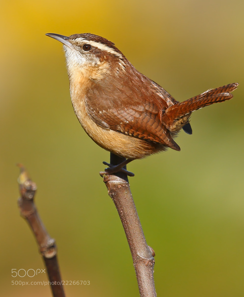 Photograph Carolina Wren by Lorraine Hudgins on 500px