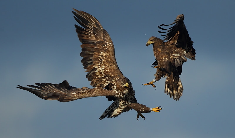 Photograph Eagle Fight by Luke Massey on 500px
