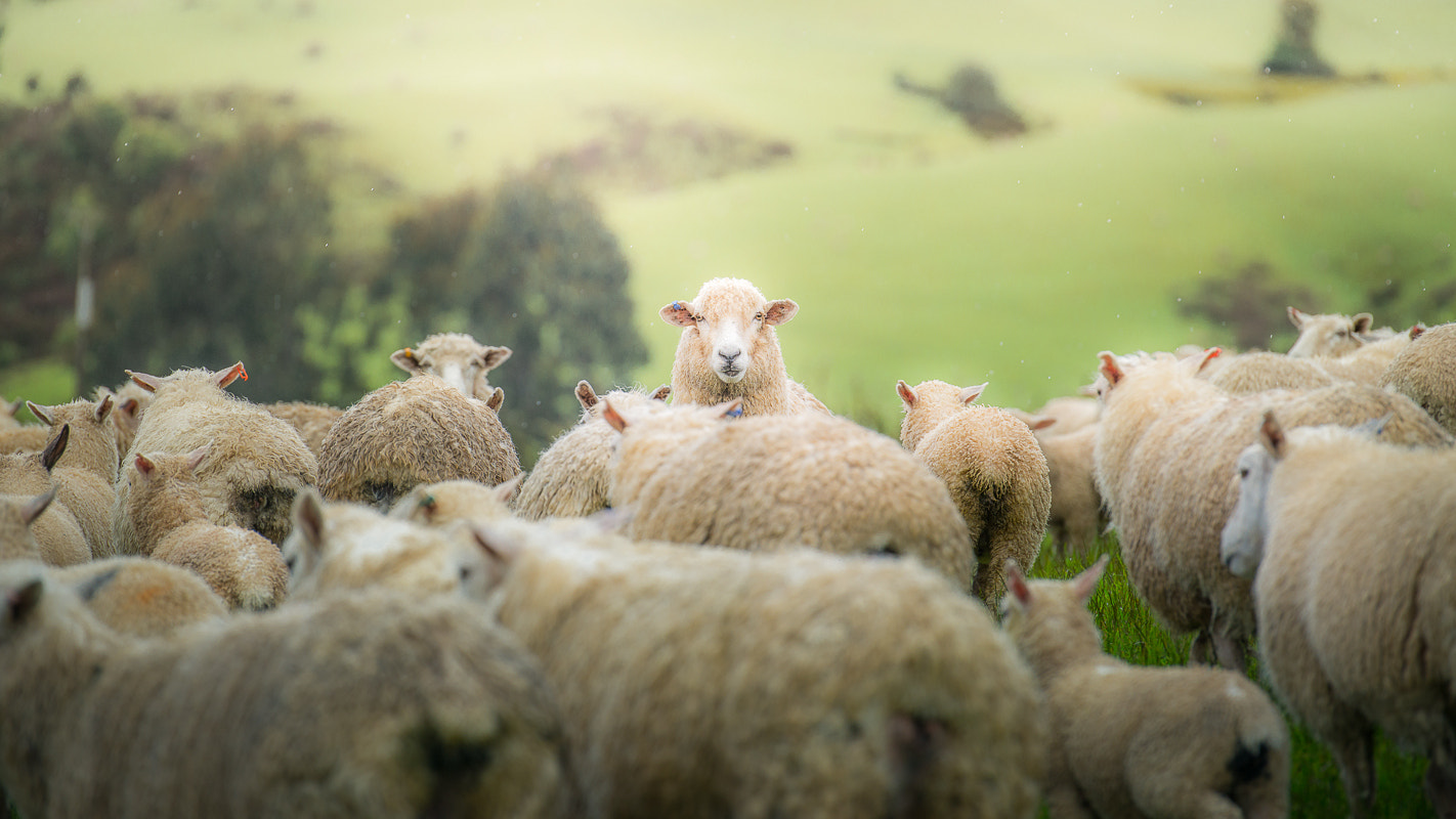 Photograph They're sheep by Coolbiere. A. on 500px