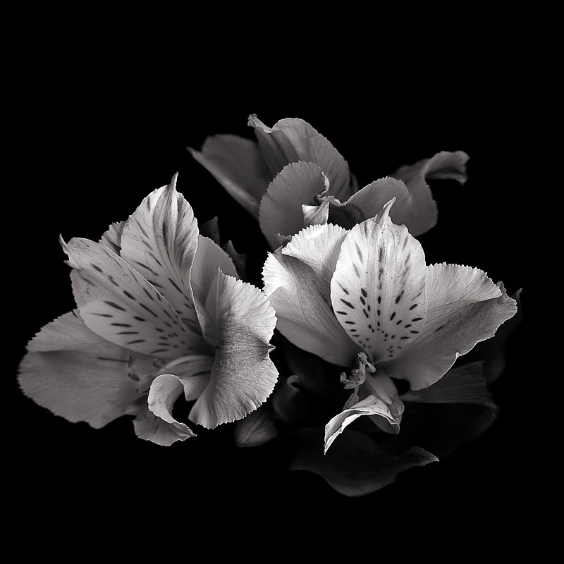 Photograph Alstroemeria in MONO... by Magda Indigo on 500px