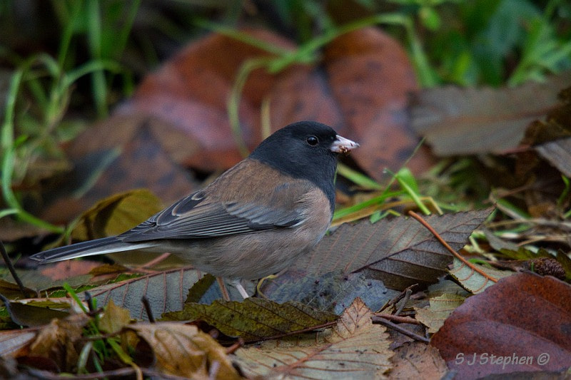 Photograph Oregon Junco by Stephen Stephen on 500px