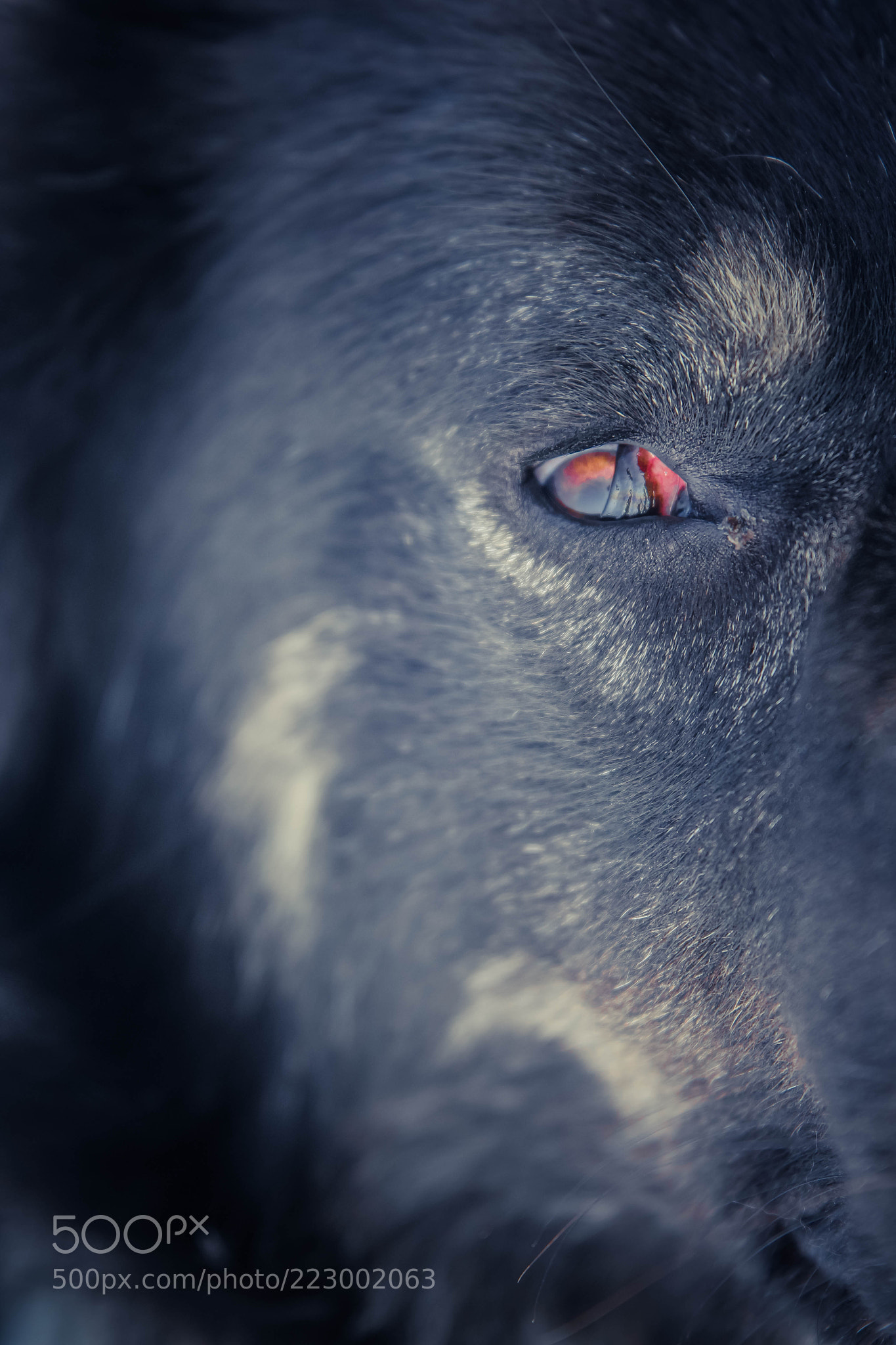 Watching You – Balkan Mountain Dog
