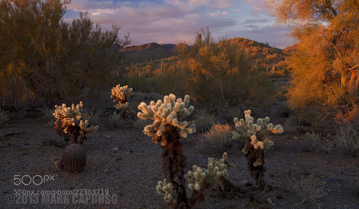 Photograph Chollas at Sunset by Mark Capurso on 500px