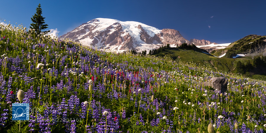 Afternoon light illuminates a variety of wildflowers from Paradise meadows on The south side of Mount Rainier