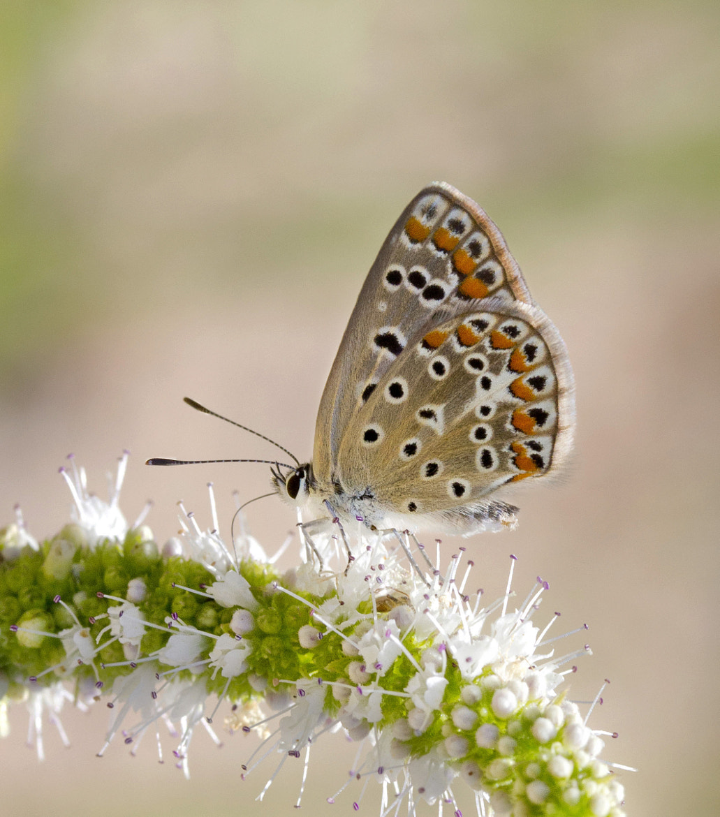 Photograph LYCAENIDAE by Amco Terr on 500px
