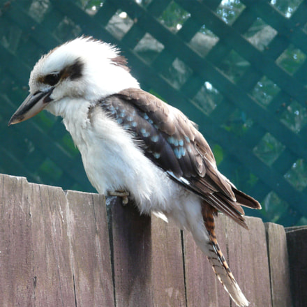 Kookaburra focussing