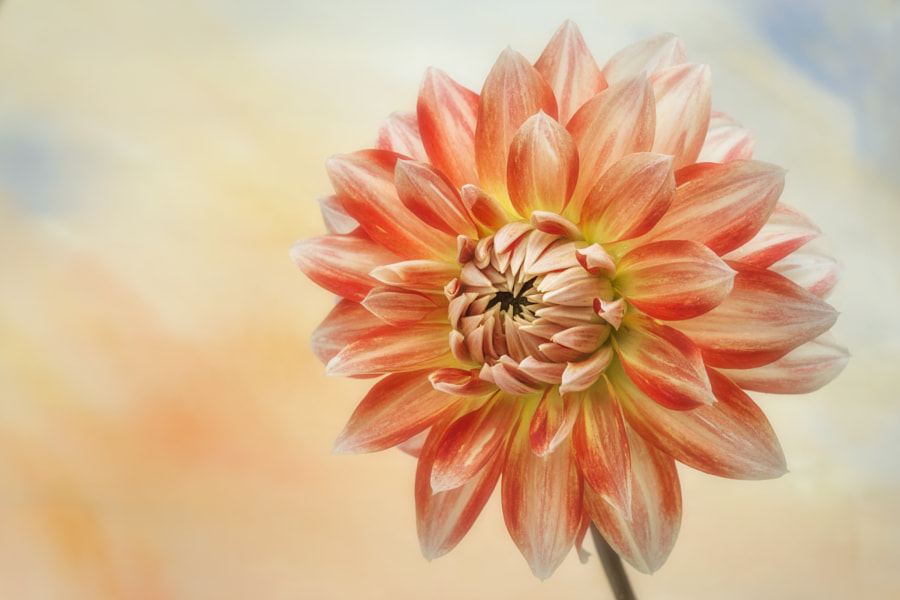 "Floral nature photo ""Orange & Cream Dahlia"" by nature photographer John Ray on 500px.com"