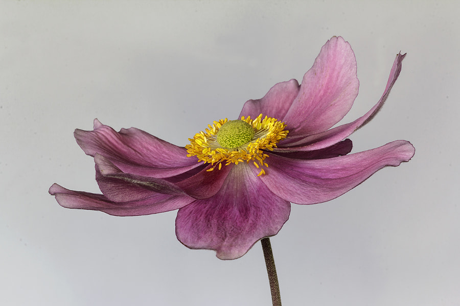 "Floral nature photo ""ANEMONE"" by nature photographer Joke van der Hall on 500px.com"