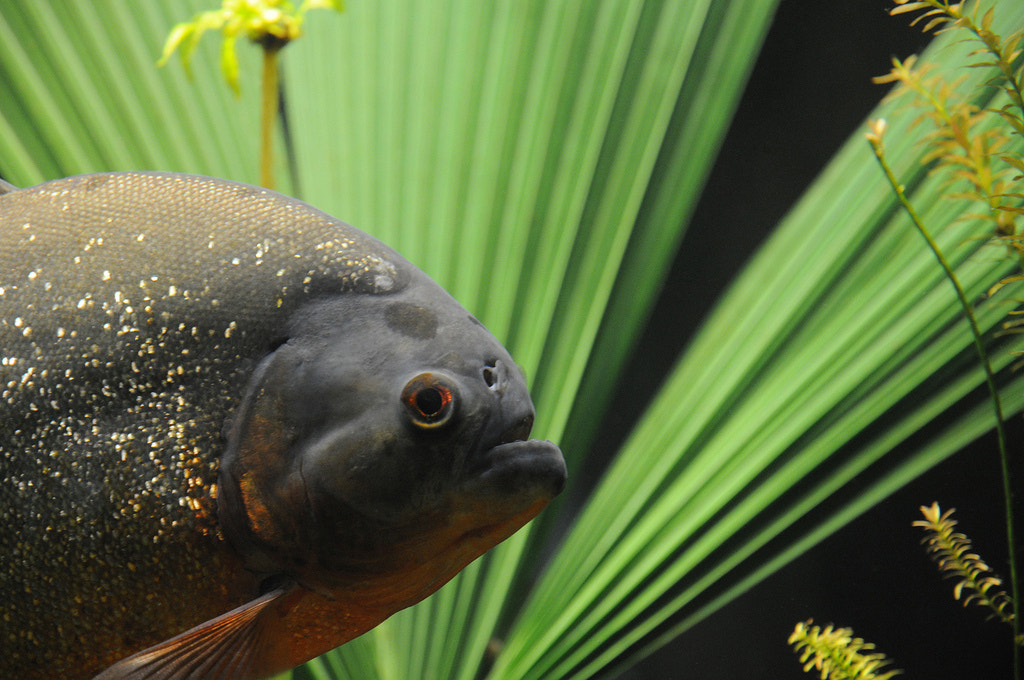 Photograph Piranha: beauty and sheer aggressiveness by Stepan Boev on 500px