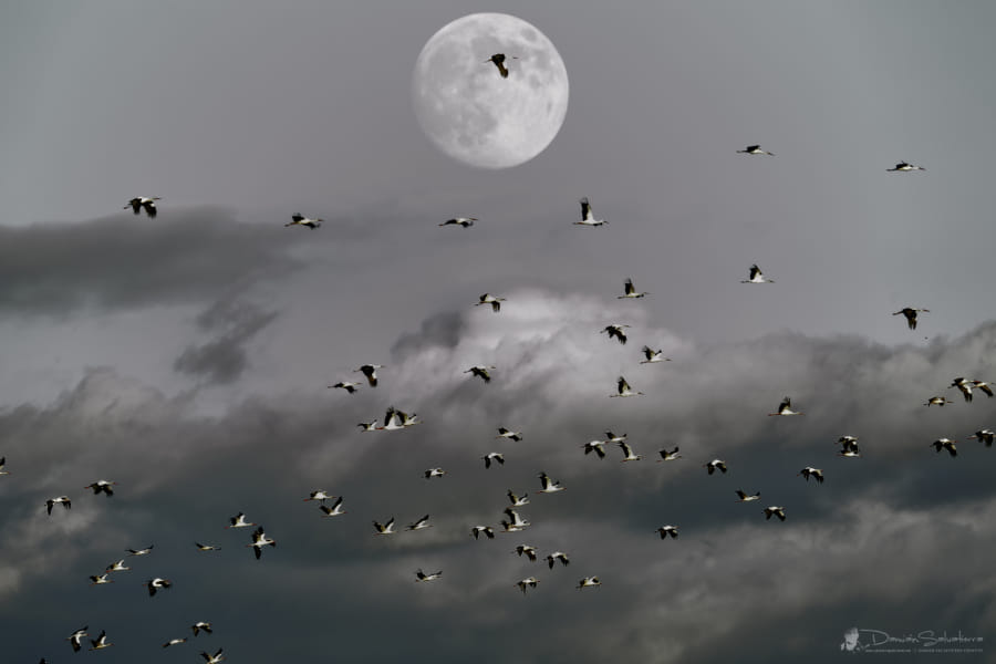 The migration of the stork