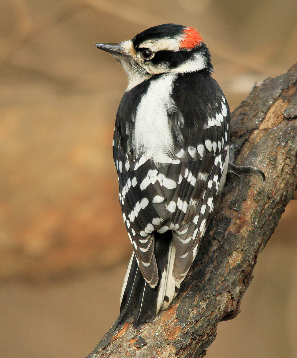 Photograph Male Downy Woodpecker by Brian Masters on 500px