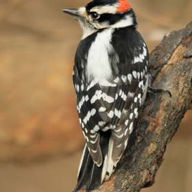 Male Downy Woodpecker by Brian Masters (bmasters1)) on 500px.com