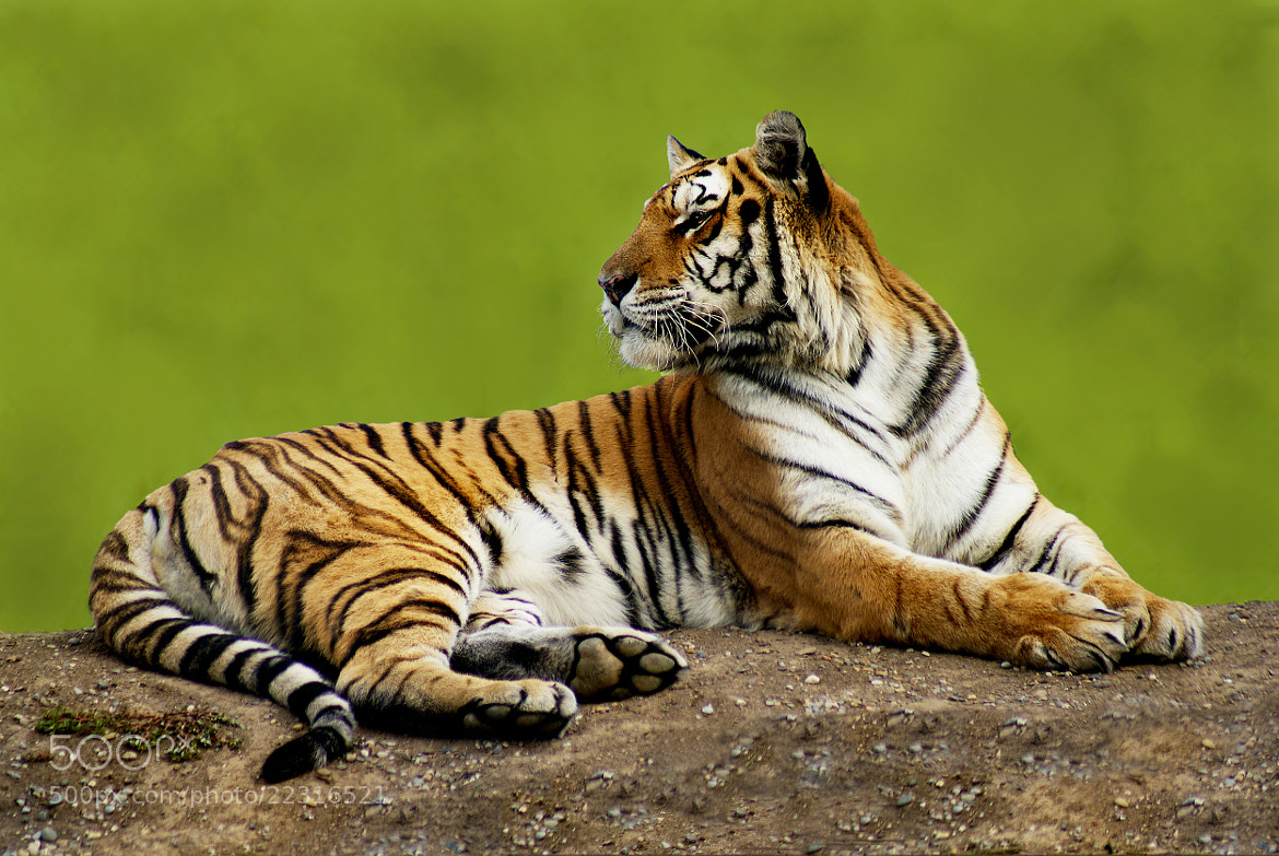 Photograph Tiger  by Brian Masters on 500px