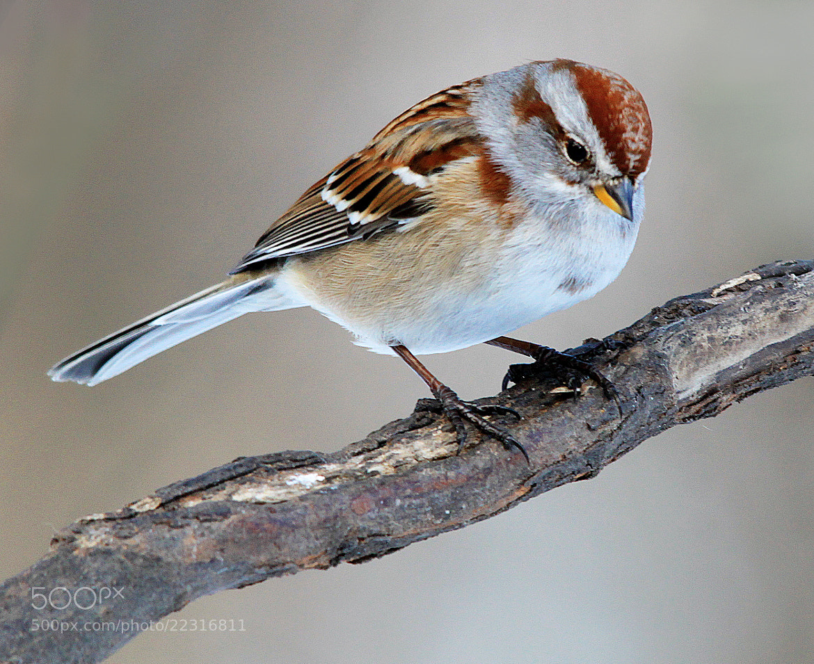 Photograph Sparrow on branch by Brian Masters on 500px