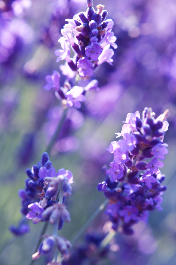 close up shot of lavender flowers by Olena Zaskochenko on 500px
