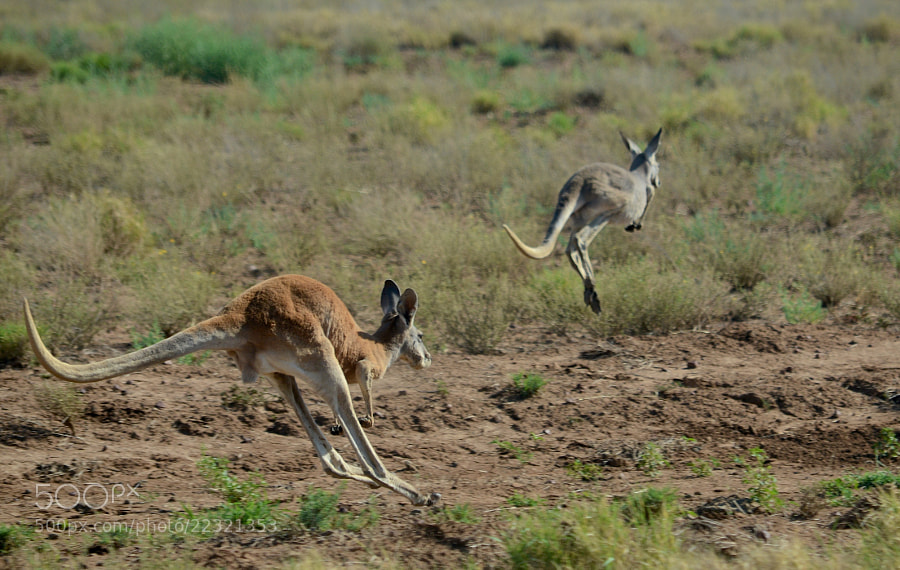 Kangaroos caught mid-hop.  I'm amazed at how well this turned out considering it was shot from a moving vehicle at moving roos with a telephoto lens.