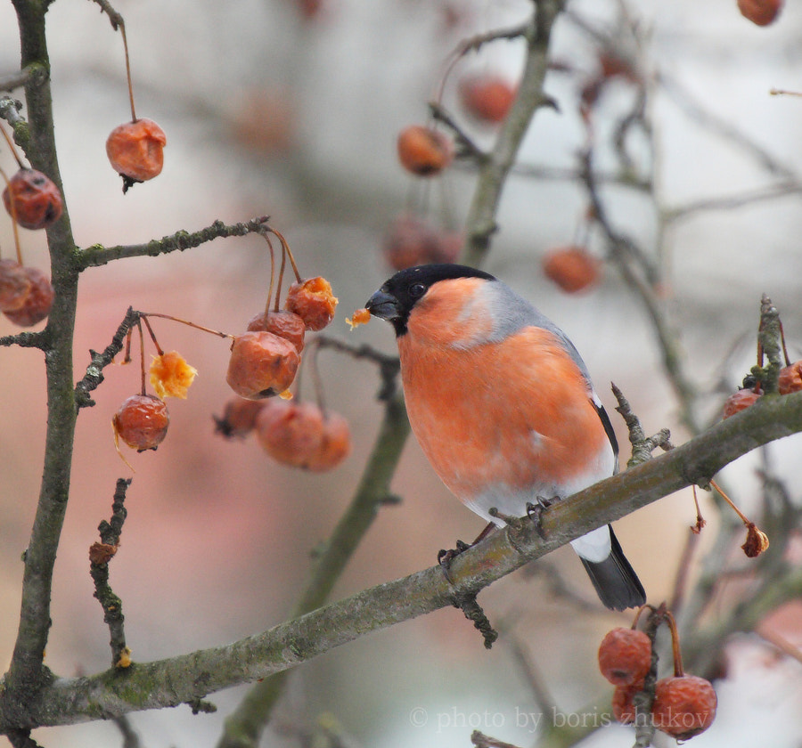 Photograph Bird classics: bullfinch by boris zhukov on 500px