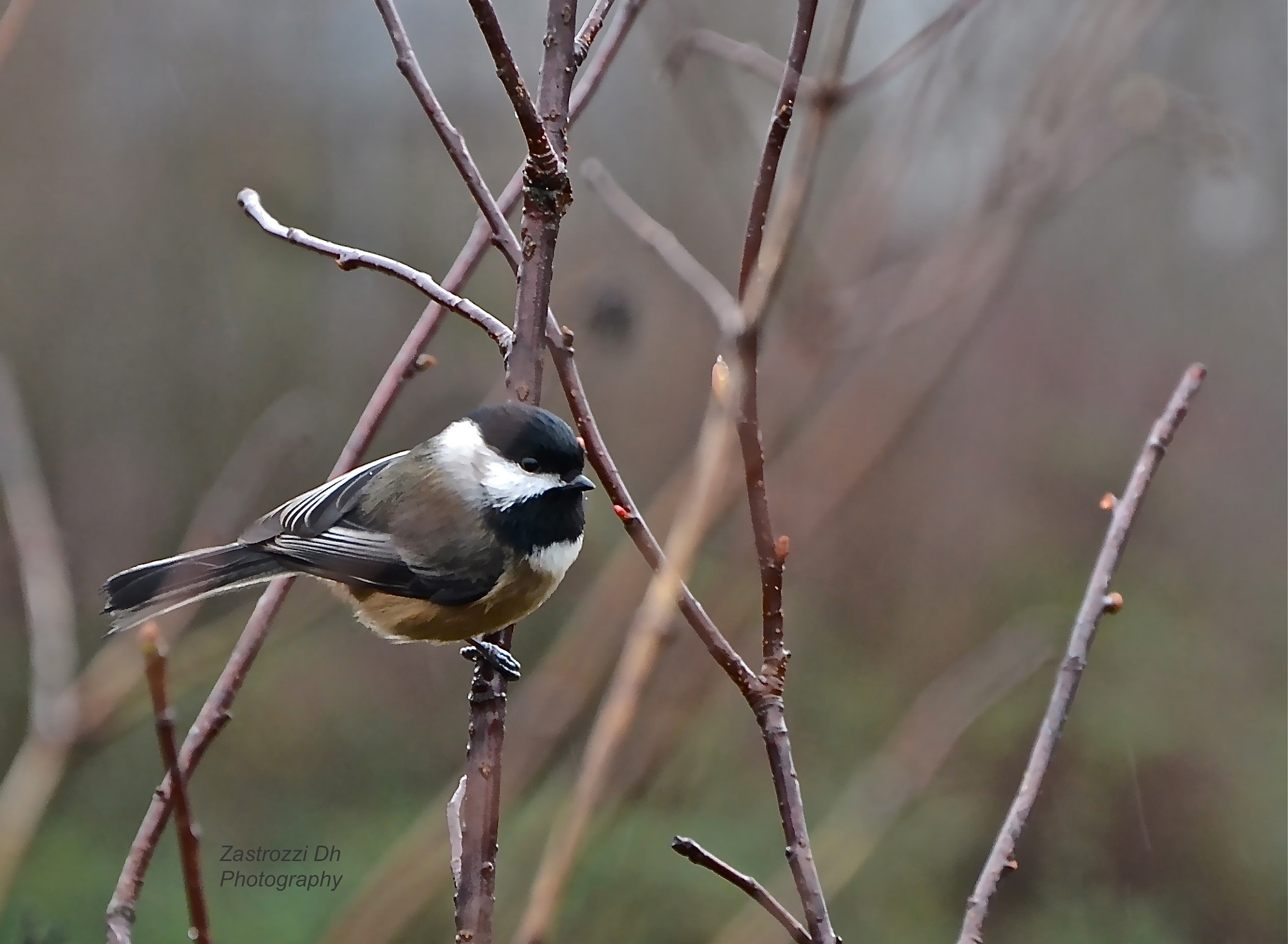 Photograph Chickadee by Zastrozzi Dh on 500px