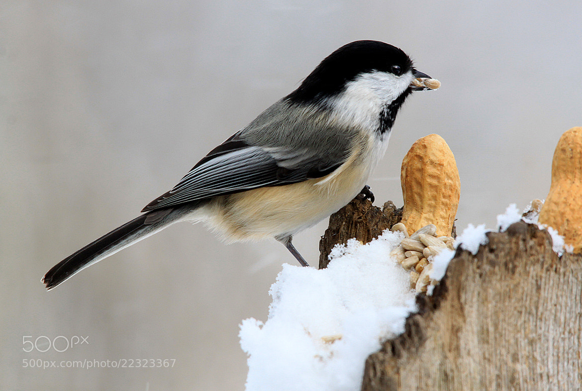 Photograph My Little Chickadee by Brian Masters on 500px