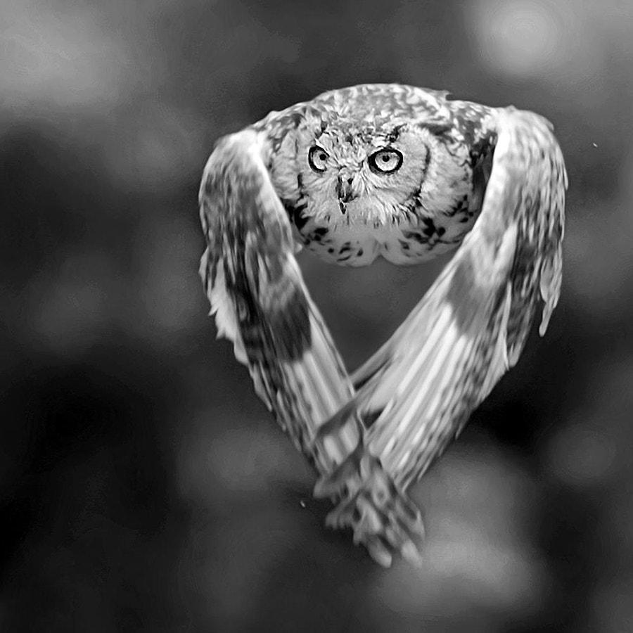 Owl, автор — Stefano Ronchi на 500px.com