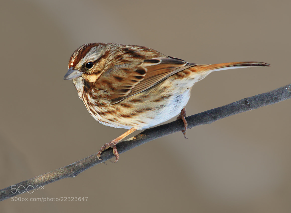Photograph Song Sparrow by Brian Masters on 500px