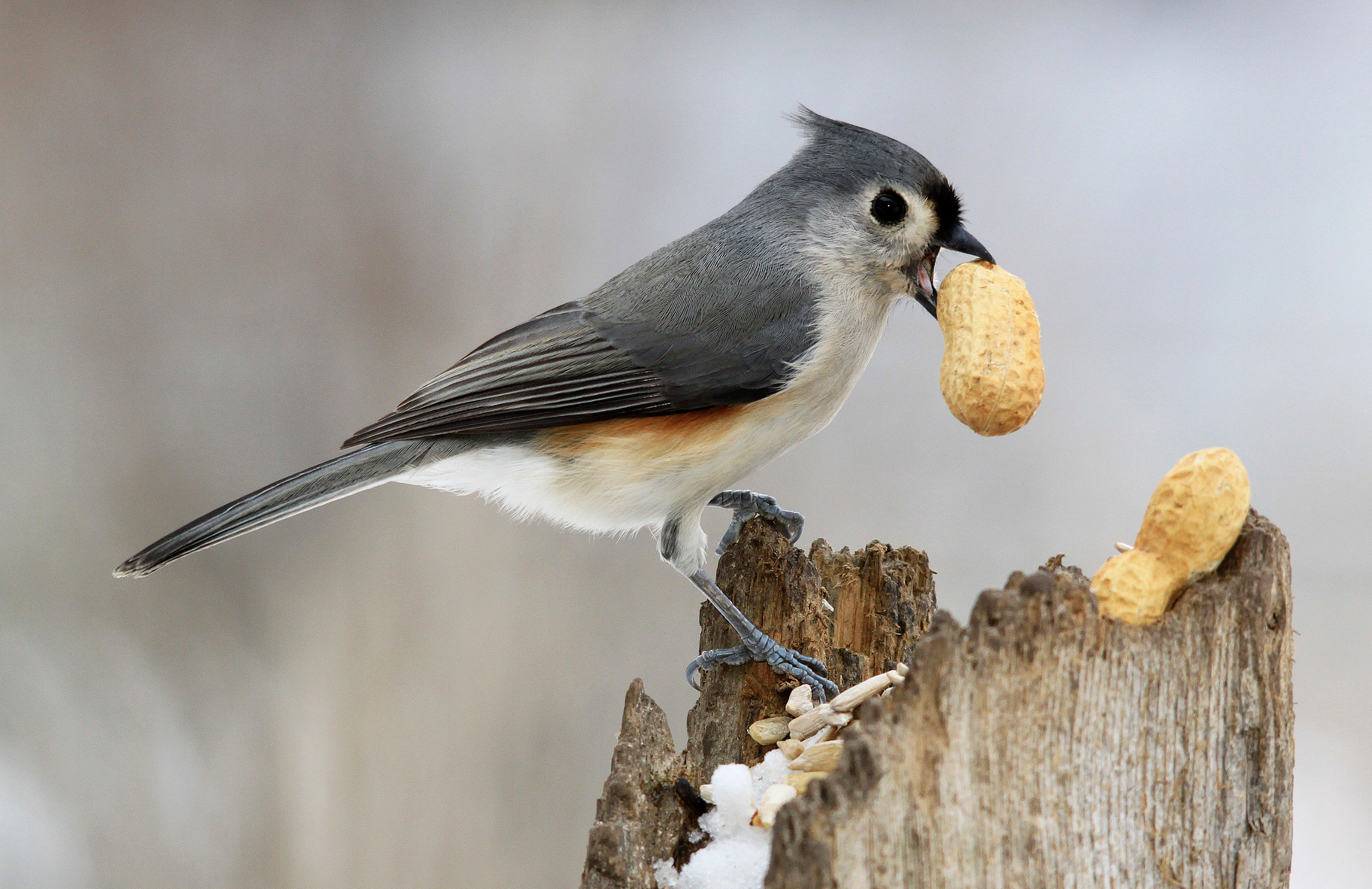 Photograph Triumphant Titmouse by Brian Masters on 500px