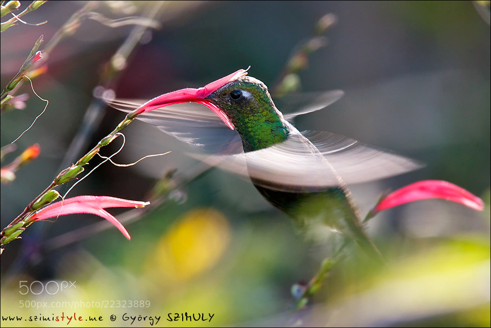 Photograph Cuban Emerald (Chlorostilbon ricordii) by Gyorgy Szimuly on 500px