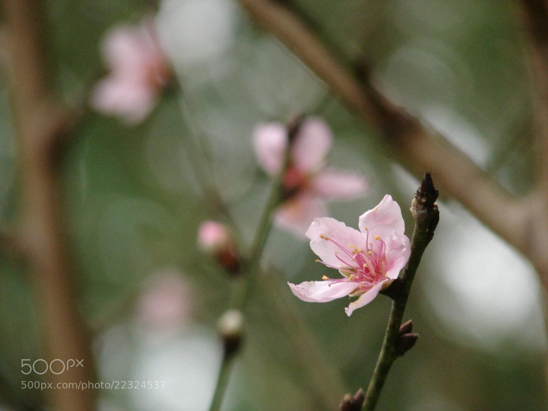 Photograph Prunus Cerasus. cerezo/cherry/sakura by lilivea on 500px