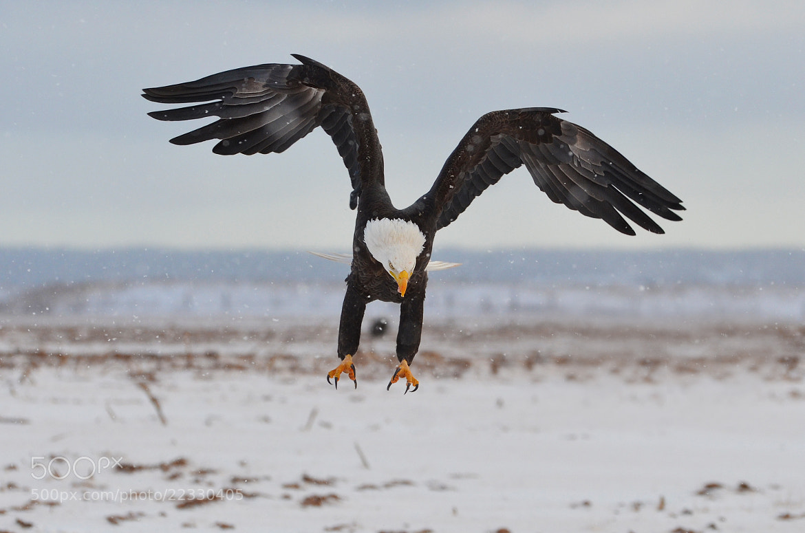 """Photograph """"Sharp Look, Sharper Talons"""" by Peter Brannon on 500px"""