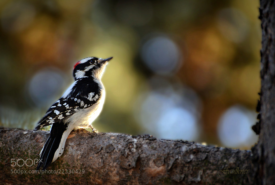 Photograph Downy Woodpecker by Reg Faulkner on 500px