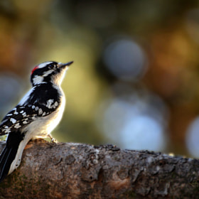 Downy Woodpecker by Reg Faulkner (Reg_Faulkner)) on 500px.com