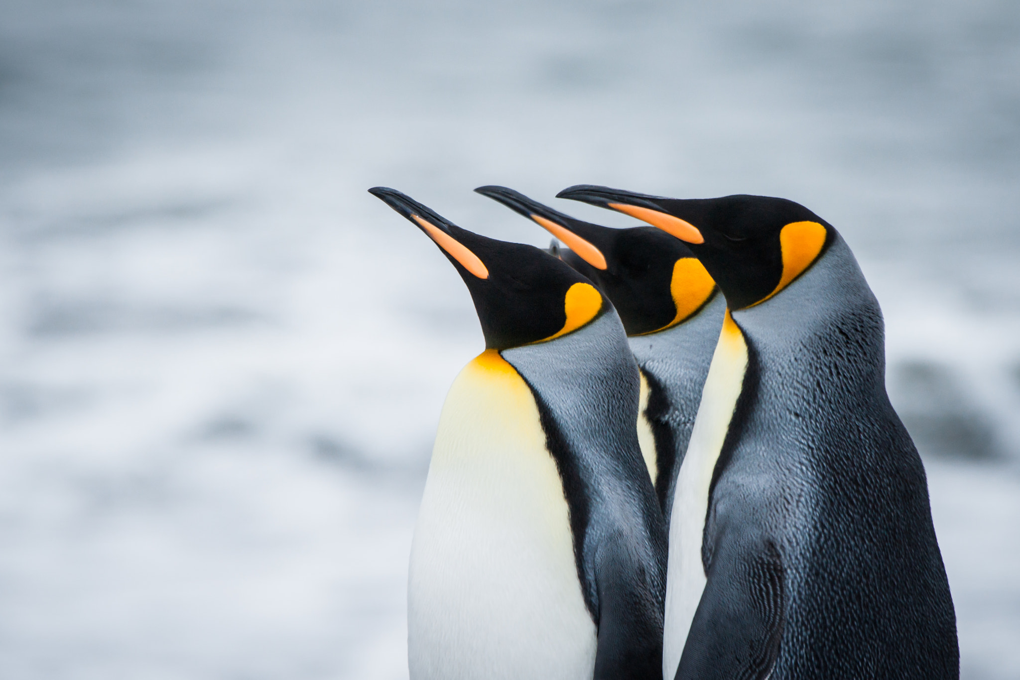 Photograph King Penguins by Cedric Favero on 500px